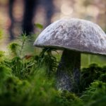 Mushrooms, green, Borovik
