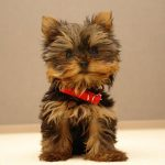 Yorkshire Terrier wallpaper