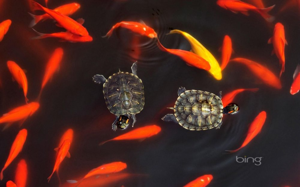 Good-looking goldfish swimming turtle bing HD Wallpapers
