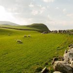 sheep, northern ireland, northern ireland