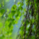 Drops, greens, branch