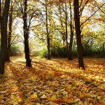 Forest, autumn, autumn wallpaper, leaves, wallpaper, trees, nature