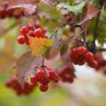 Viburnum, Viburnum, red berries