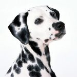 Spots, white, dalmatian, background, dalmatinec, dog