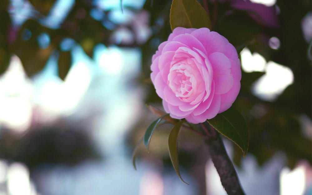 Light pink camellia desktop background