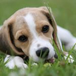 Friend, beagle dog