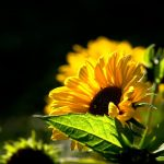 Sunflower flowers wallpaper