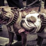 Dogs, bulldogs, walk