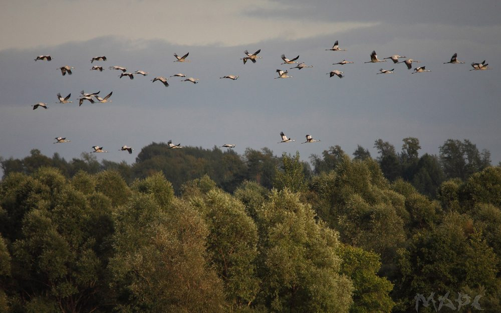 fall, flock, cranes, flight