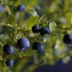 Bilberry, leaves, berries, branches, bush