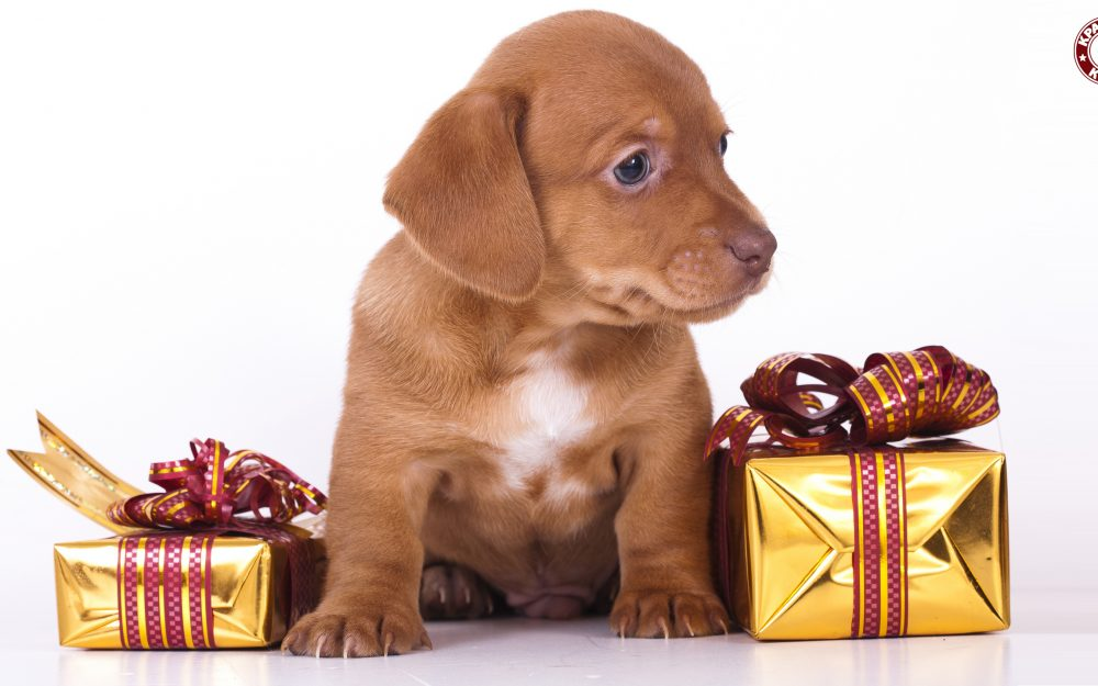 Puppy, gifts, white background