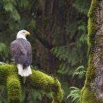 HD eagle feeding on a tree trunk wallpaper download