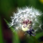 Withered dandelion seeds