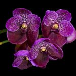 orchids, purple