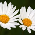 Beautiful wallpaper for your desktop wallpapers, pictures, daisy, macro, flowers