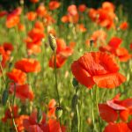 The Poppies, poppies, red