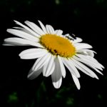 daisy, beetle, black and white