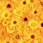 Yellow flowers desktop background