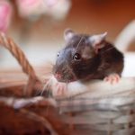 Foraging rats wallpaper