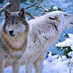Winter, wolves, Rod Lawrence, painting