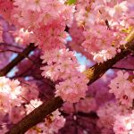 Nice pink cherry blossom wallpaper