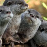 Otters, four, gray, animal desktop wallpaper