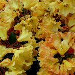 yellow, bloom, azaleas wallpaper