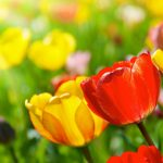 Everywhere tulip desktop picture