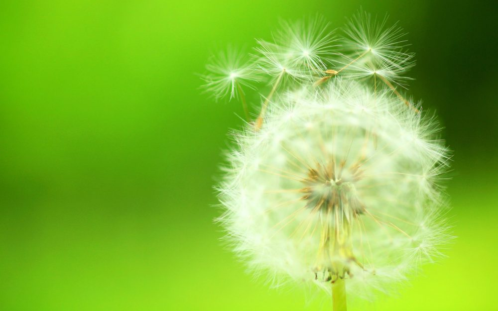 Small fresh dandelion HD Desktop Wallpaper