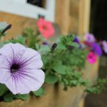 house, petunias, flowers hd wallpaper
