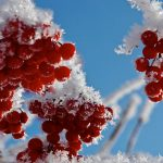 Winter snow and ice wrapped in beautiful scenery of autumn fruit wallpaper