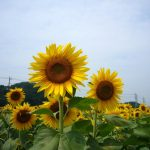 green, summer, field, trees, sunflowers