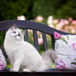 Fluffy cat, bench, blue eyes, ragdoll, attractive face, pillow, cat