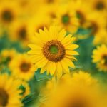 Sunflower flowers desktop wallpaper