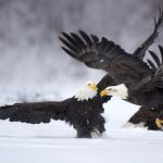Animals, eagles, snow, fish, poultry