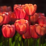 transparent tulips