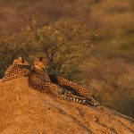 Vacation, cheetahs, family, hill