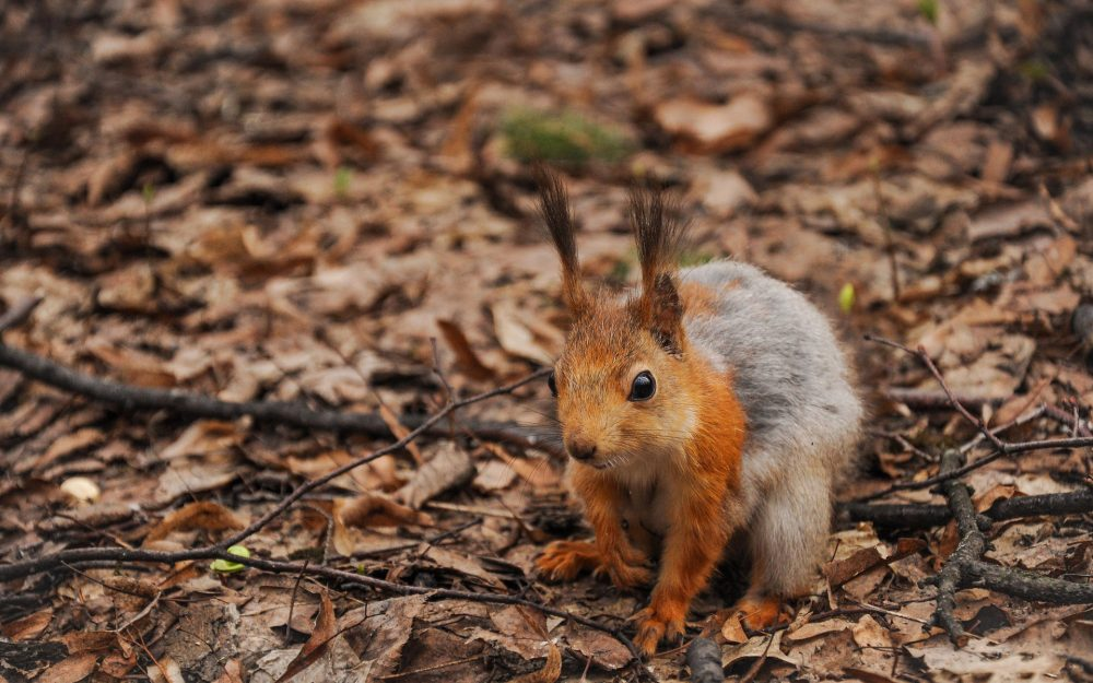 Squirrel foraging hd wallpaper