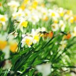 Small fresh daffodils hd desktop wallpaper