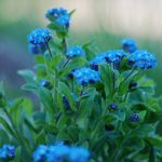 Blue forget-me desktop background