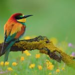Bee-eater birds alone desktop background