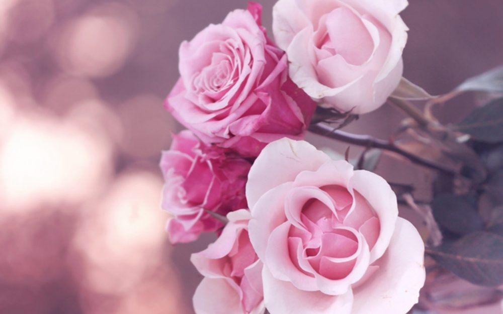tender roses wallpaper