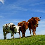 Cow horn, sky, photo, animals, grass, mountains