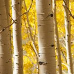 Birch forest photography wallpaper pictures