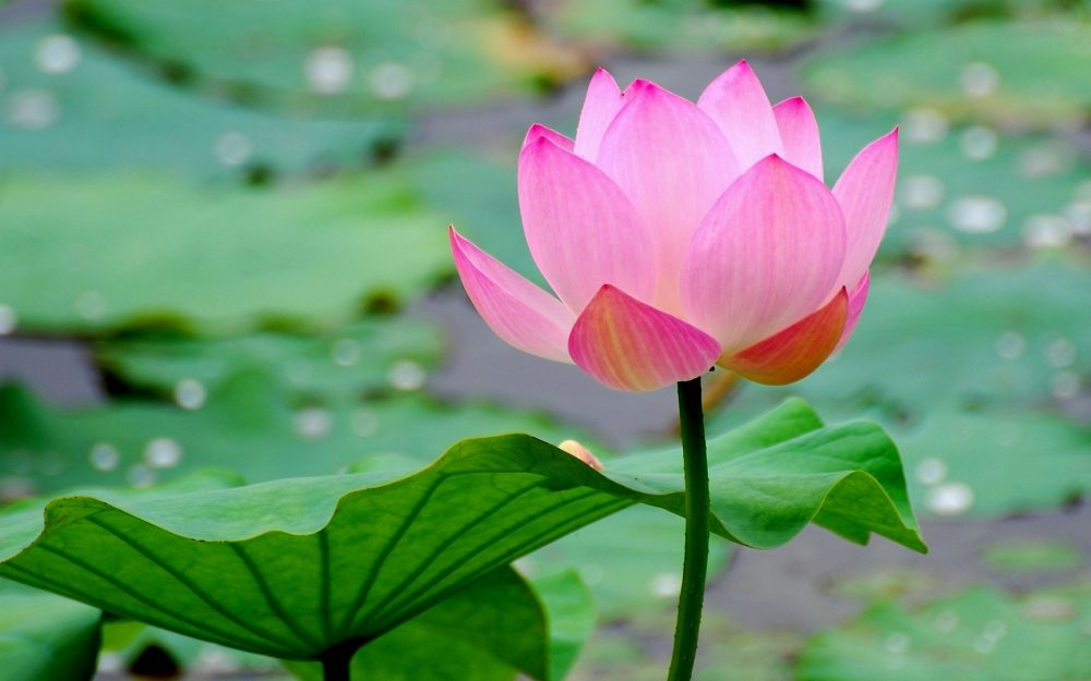 Blooming lotus desktop wallpaper