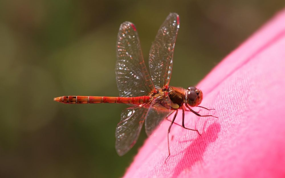 Red Dragonfly hd wallpaper