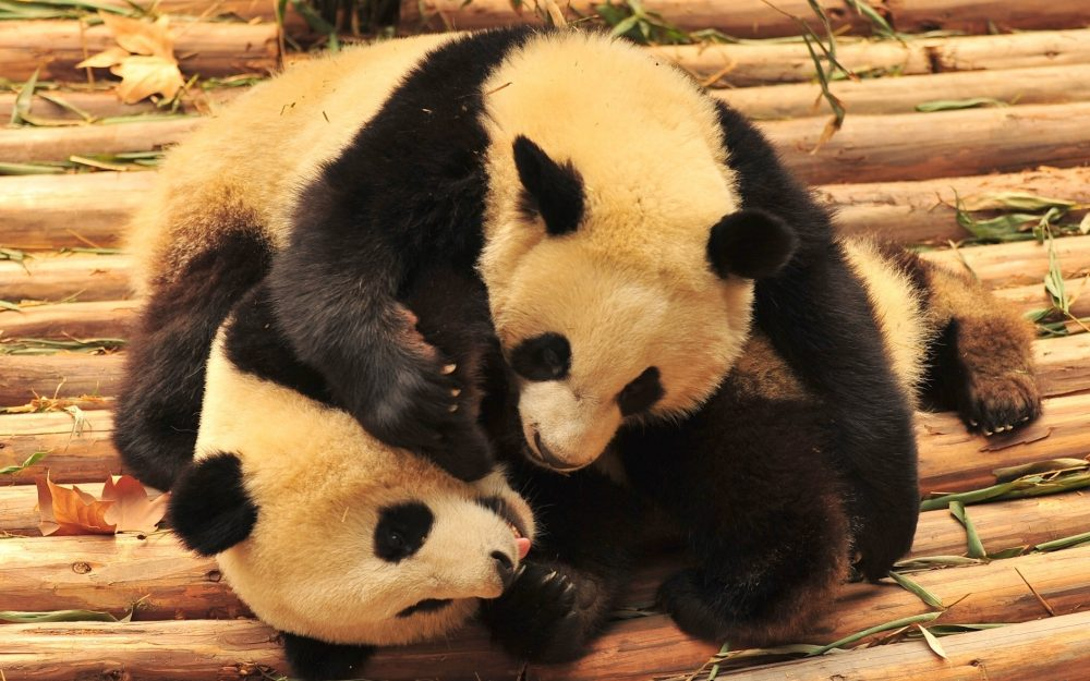 Bears, pandas, animals, bamboo