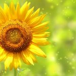 Small fresh sunflowers beautiful hd wallpaper