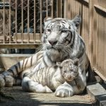 Zoo, cat, tiger, cage