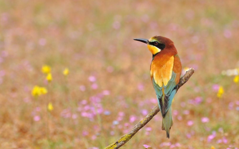 Stop the Bee-eater birds desktop wallpaper